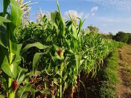 Кукуруза - Corn, общий вид культуры