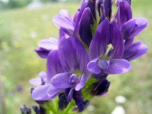Люцерна (Medicago sativa L), общий вид растения